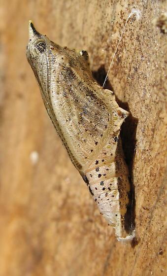 Unknown Chrysalis - Pieris rapae