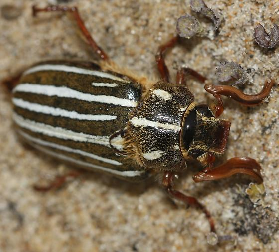Beetle in dunes - Polyphylla - male