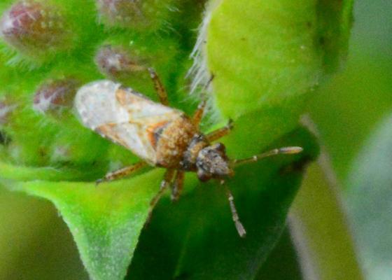 Seed bug? - Neortholomus