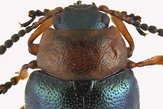 Leaf Beetle - Gastrophysa polygoni