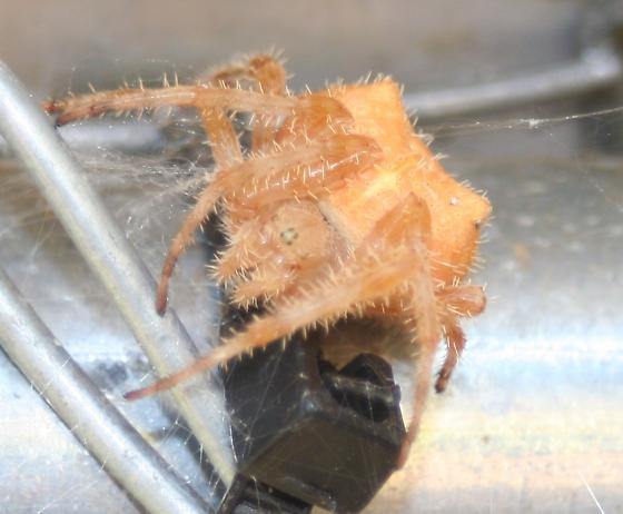 Fat Orange Spider - Araneus