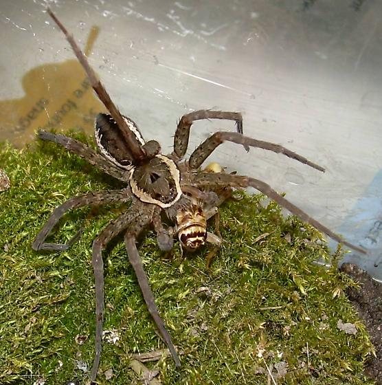 Fishing spider? - Dolomedes vittatus - male