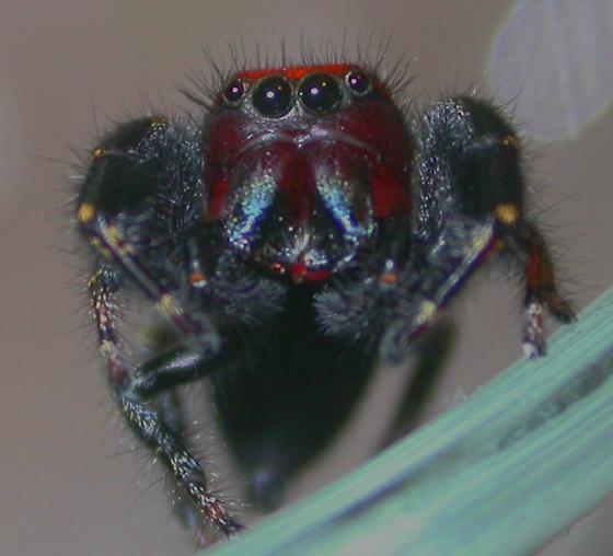 Phidippus cardinalis - male