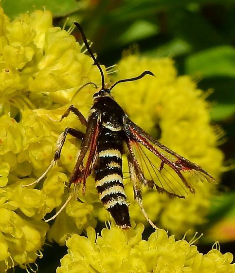 Unkown - Albuna pyramidalis
