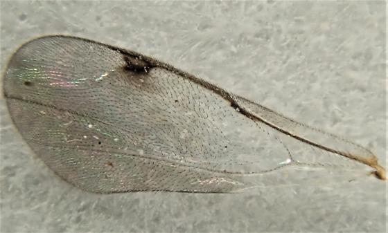 Monodontomerus sp. (?) - Monodontomerus - female