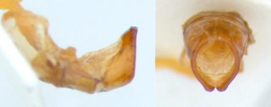 Phyllophaga crenulata - male
