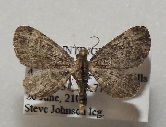 Pasiphila rectangulata - Green Pug - Hodges#7625 - Pasiphila rectangulata - male