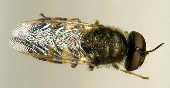 Syrphid - Odontomyia