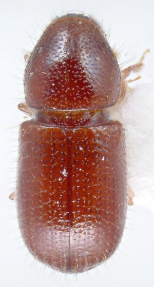Coccotrypes advena