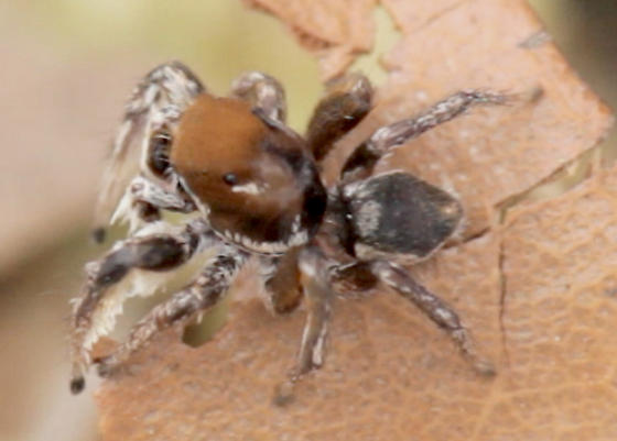 Jumping Spider - Habronattus forticulus - male