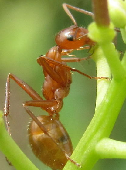 Yellow Ant - Formica incerta