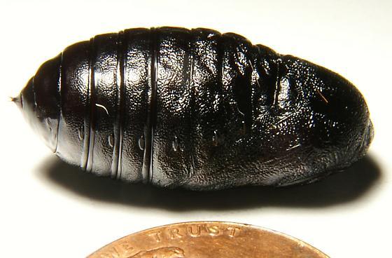 Black Haired Hairy Orange and yellow Caterpillar   - Estigmene acrea