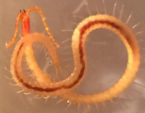 Centipede Found In Human Stool Bugguide Net