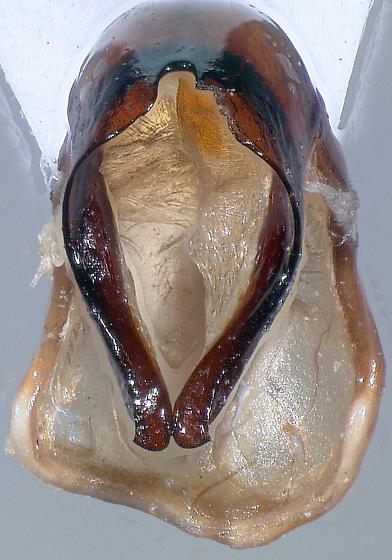 Phyllophaga parvidens - male
