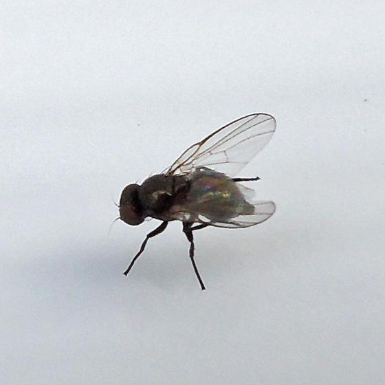 leaf-miner fly - female