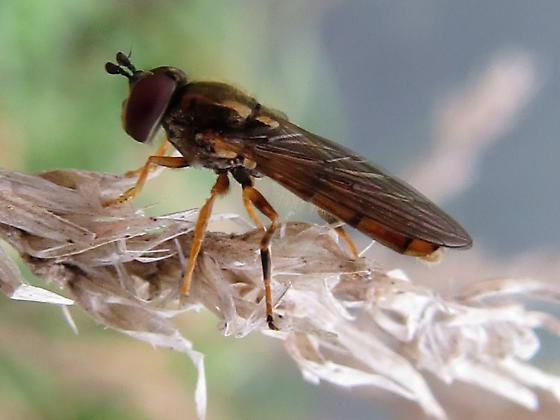 fly - Platycheirus - male