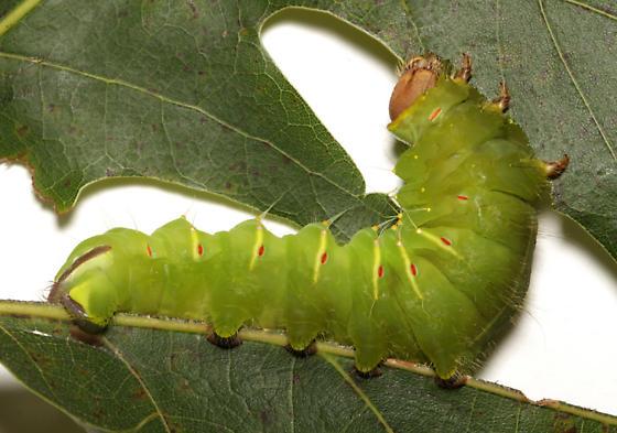 Polyphemus, a larva - Antheraea polyphemus