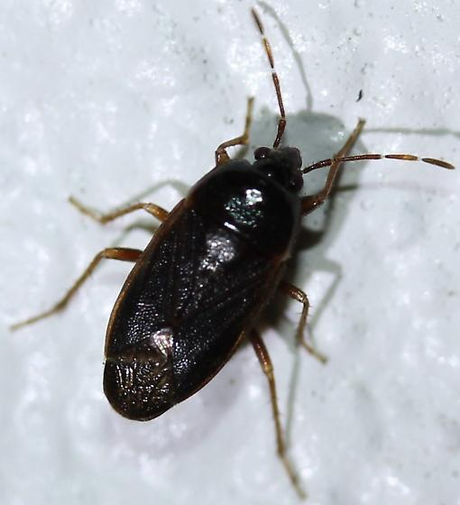 Heteroptera - Paragonatas costaricensis