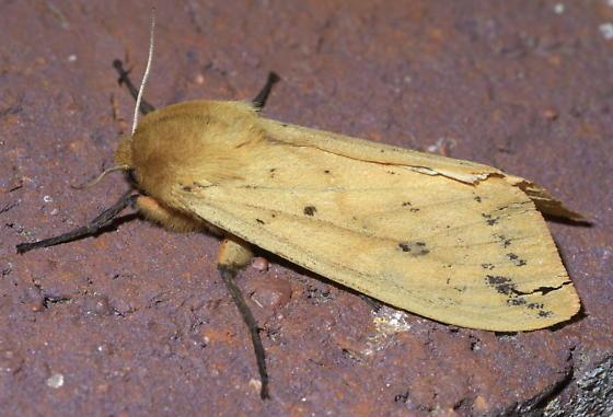 Tan moth with dark spots - Pyrrharctia isabella