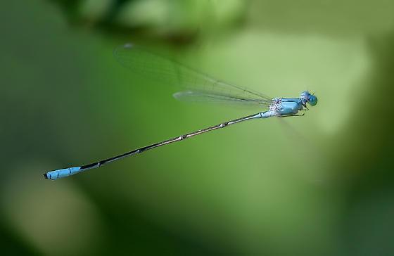 Attenuated Bluet in Flight - Enallagma daeckii - male