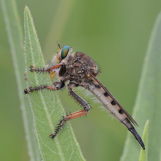Promachus vertebratus - Female ? - Promachus vertebratus - female