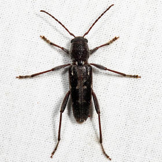 Arrowhead Borer - Xylotrechus sagittatus