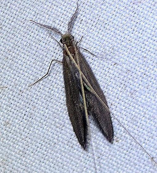 Leptoceridae ???