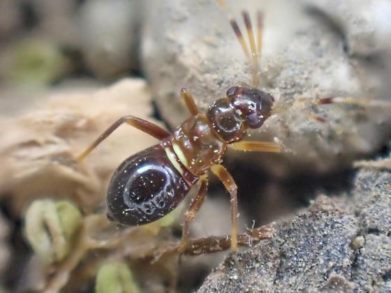 Miridae swept from Ceanothus