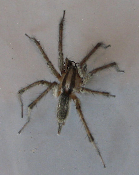 Grass spider - male