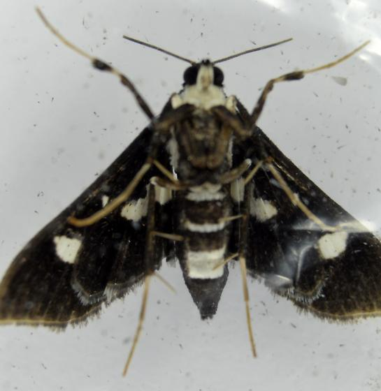 Grape Leafroller  - Desmia maculalis - female
