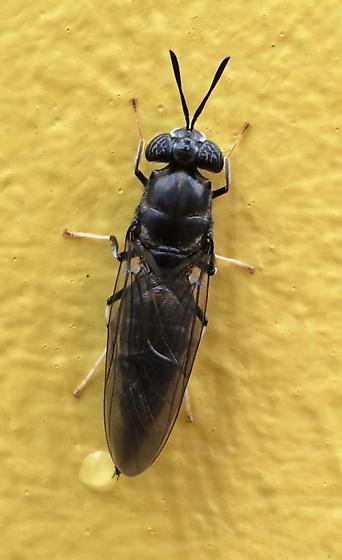 Bug on bollard  - Hermetia illucens