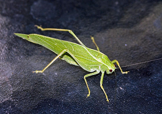 Katydid - Microcentrum latifrons - male