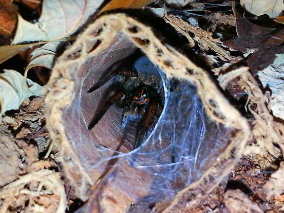Tigrosa Species (Female) - Tigrosa grandis - female