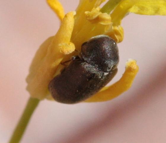 Interesting beetle - Megorama