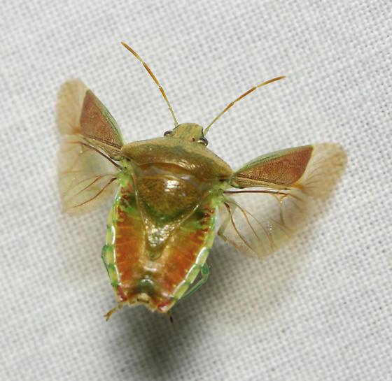 Stink bug in flight - Banasa