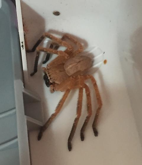 Large Arachnid  - Olios giganteus