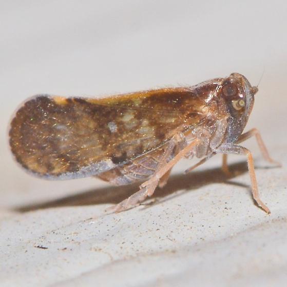 dark brown hopper with spots - Pintalia vibex