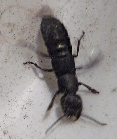 Large ant-like insect  - Ocypus olens