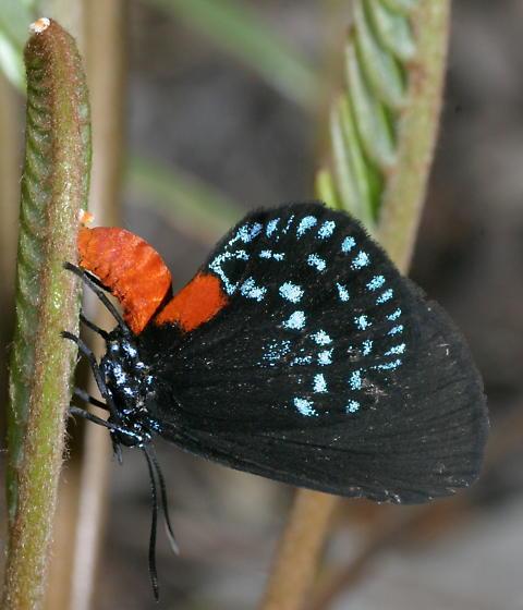 Atala Ovipositing - Eumaeus atala - female