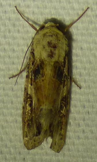 unknown moth - Spodoptera
