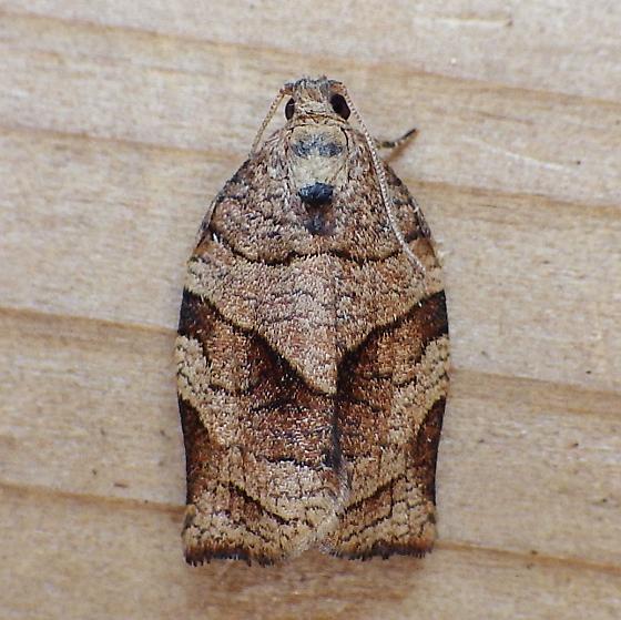 Tortricidae: Choristoneura rosaceana - Choristoneura rosaceana