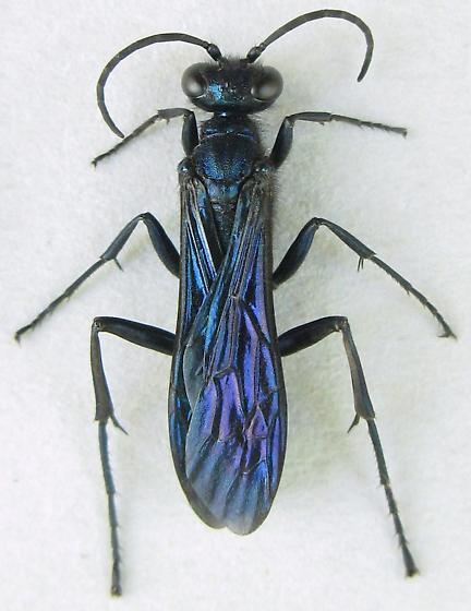 Blue Mud Wasp - Chalybion californicum - female
