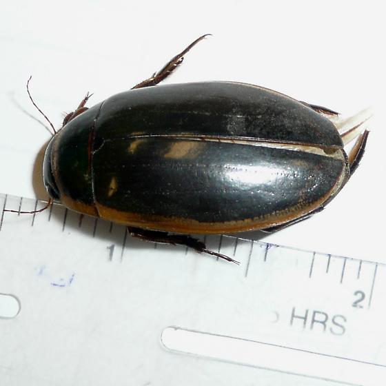 Unknown large Diving beetle - Dytiscus cordieri