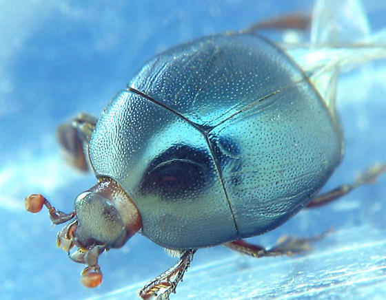 metallic blue histerid - Xerosaprinus coerulescens