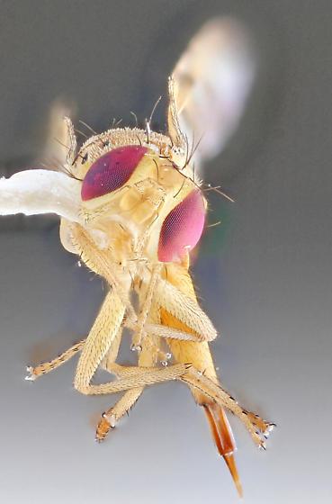 Diptera-1 - Chaetorellia succinea - female