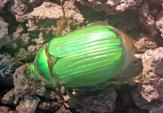 C. Scarabidae Chrysina woodii? - Chrysina lecontei