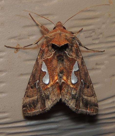 8907 – Megalographa biloba – Bilobed Looper Moth for Louisiana - Megalographa biloba