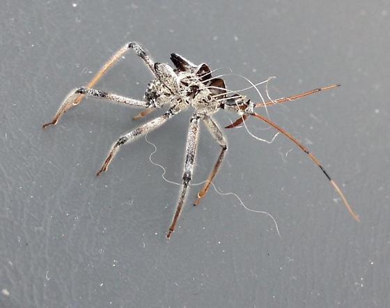 Spider Corpse - Arilus cristatus