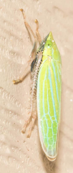 Blue-lined sharpshooter - Draeculacephala