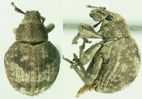 Twobanded Japanese weevil - Pseudocneorhinus bifasciatus